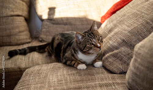 Fotografie, Obraz Young handsome tabby tomcat, brown and black stripes