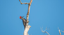 Pileated Woodpecker At Sunrise
