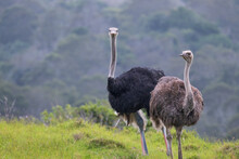 Male And Female Ostriches Standing Alongside Each Other