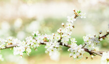 Apple Blossoms In Spring.Spring Flowering, Blurred Bokeh Background. Beautiful Summer Card. Fresh Nature At Sunrise After Rain.