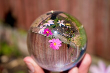 Beautiful Pink Garden Cosmos Mexican Aster Flowers Inside Crystal Ball Lens With Blurred Surrounding.