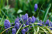 Many Beautiful Spring Flowers Of Blue And Blue Color On The Bed. Muscari