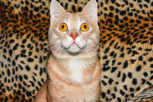 Closeup Shot Of A Yellow-eyed Cat Looking To The Camera