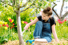 Whitewashing Spring Trees, Protection Against Insects And Pests.A Woman Paints In White Tree Trunk With A Brush.Whitewashing Trees In Spring Time. Gardening And Agriculture, Protective.