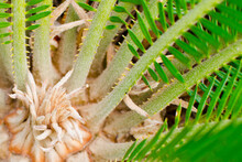 The Center Of A Developing Sago Palm As It Grows