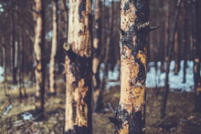 Scorched Pine Forest In Winter