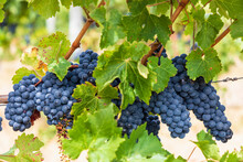 Ripe Blue Grapes Growing In Vineyard