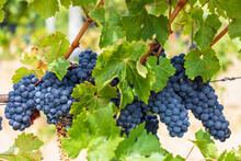 Ripe Blue Grapes Growing In Vineyard