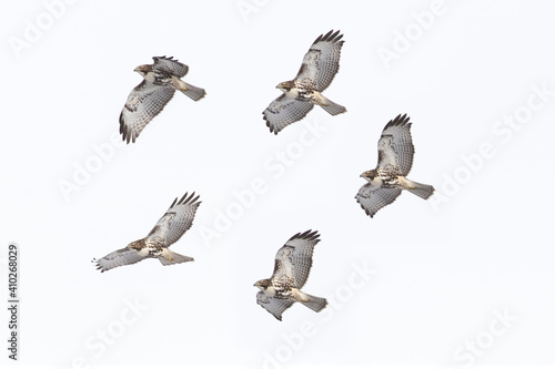 Photographie red-tailed hawks (Buteo jamaicensis) in flight on white background