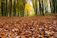 Forest Floor Covered In Fallen Autumn Leaves