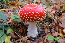 Fly Agaric (Amanita Muscaria) Growing In Autumn