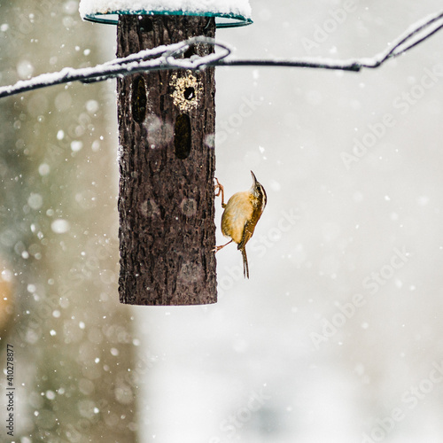 Tablou Canvas Carolina Wren Bird in Snow