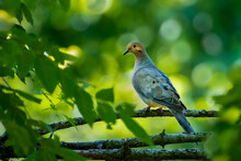 A Mourning Dove (Zenaida Macroura) Perched On A Branch With A Nice Green Bokeh Background.