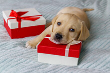 Small Cute Labrador Retriever Puppy Dog With Gift Boxes On A Bed