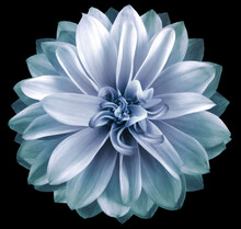 Watercolor Dahlia Flower Blue. Flower Isolated On Black Background. No Shadows With Clipping Path. Close-up. Nature.