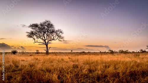 Fototapeta Sunrise over the savanna and grass fields in central Kruger National Park in Sou