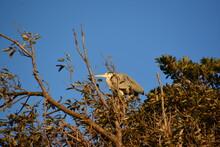 高い木の上にとまるアオサギ