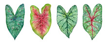 Watercolor Tropical Leaves Of  Plants. Hand Painted Caladium Isolated On White Background.