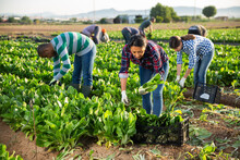 Latino Woman Collects Crop Of Chard Along With Other Workers On Farm Field