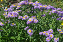 Blooming Erigeron Flowers In The Summer Garden
