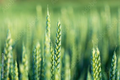 Fototapeta unripe unharvested green wheat field in summer time, countryside scene obraz