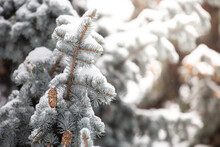 Blue Fir Cones Covered With Snow In Park. Snow Branch Evergreen Spruce Tree.