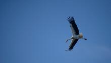 Cigüeña Volando En Un Cielo Azul Con Sus Alas Extendidas