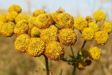 Yellow Tansy Flowers In The Field, Closeup