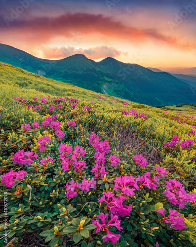 Fototapety, obrazy: Fabulous summer scenery. Blooming pink rhododendron flowers on the Carpathians hills. Amazing summer sunset on Carpathian mountains with Homula mount on background, Ukraine, Europe.