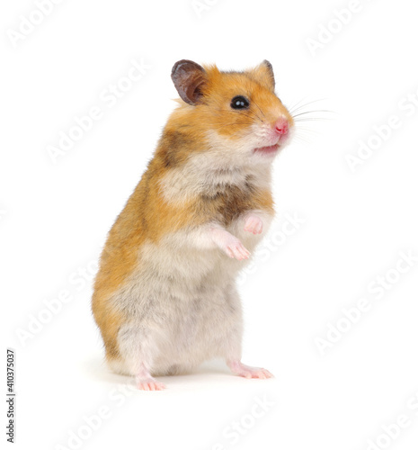Fototapeta Hamster standing on its hind legs isolated on white