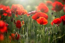 Vivid Poppy Field. Beautiful Red Poppy Flowers On Green Fleecy Stems Grow In The Field. Scarlet Poppy Flowers In The Sunset Light. Close-up Of Poppies