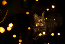 Adult Funny Cat Under The Christmas Tree With Christmas Lights