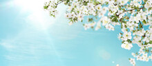 Amazing Spring Blossom. Tree Branches With Beautiful Flowers Outdoors On Sunny Day, Banner Design