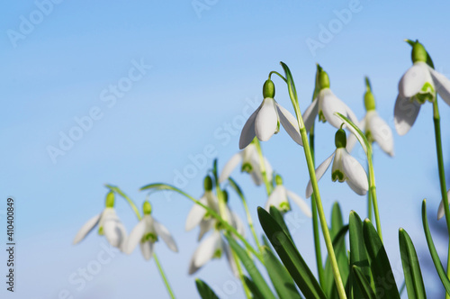 Obraz Snowdrops in early spring with blue sky, copy space - fototapety do salonu