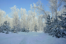 Beautiful Winter Landscape Background. Path In The Snowy Forest. Snow-covered Trees Against The Blue Sky. The Nature Of Siberia. Freezing Day. Suburb Of Krasnoyarsk.