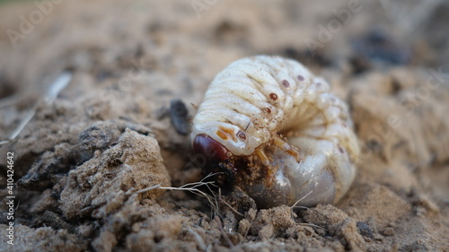 Valokuva Close up of macro white grubs burrowing into the compost soil