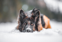 German Shepherd Dog With Longhair Laying Down On The Fresh Snow In A Snowy Landscape