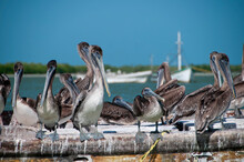 Close-up Of A Group Of Pelicans In An Old Fishing Boat Moored In The Lagoon. In The Background The Coast And The Blue Sky. The Mexican Caribbean.