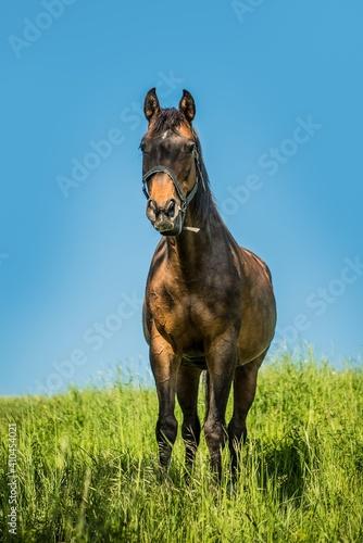 Fototapeta horse in the meadow obraz