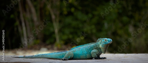 Canvas Print Extremely Rare Blue Iguana (Cyclura lewisi) is protected in the Queen Elizabeth II Botanic Park, where you can find the real natural habitat of this surprising creature