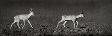 The Roe Deer Couple In The Field Closeup In Sepia Colors. Animals In Rutting Season.