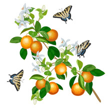 Illustration With Oranges And Butterflies.Branches With Oranges And Butterflies On A White Background In A Color Illustration.