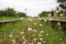 Life Found The Way - Small White Flowers Between The Rails Of Abandoned Railway