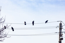 Black Crows Are Sitting On Electrical Wires. Birds At The Top.