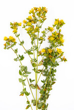 Hypericum - Yellow Wild Flower On A White Background Is Used In Medicine.