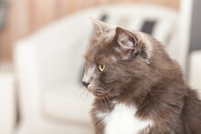 Portrait Of A Pretty Chartreux Cat With Long Hairs And Yellow Eyes.
