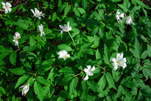 Top View Of White Flowers Anemone Nemorosa In Green Grass On Sunny Day. Selective Focus, Flowering Plant Background