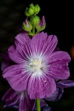 Priscilla Hollyhock (Sidalcea Hybrida) Flower