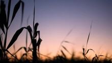 Reed Plants Leaning On Windy Day Against Sunset Sky