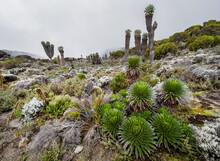 "Lobelia Deckenii - High Altitude Moorland Zones Unique Plant With Fogged Dendrosenecio ""trees"". It Is A Giant Lobelia Endemic To The Mountains Of Tanzania. Barranco Camp Cca 3900m Altitude."